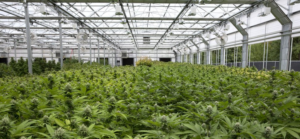 Marijuana growers and greenhouse companies help each other for Cannabis interieur