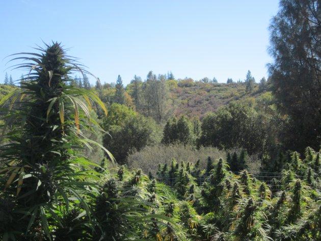 When is it legal to grow marijuana?