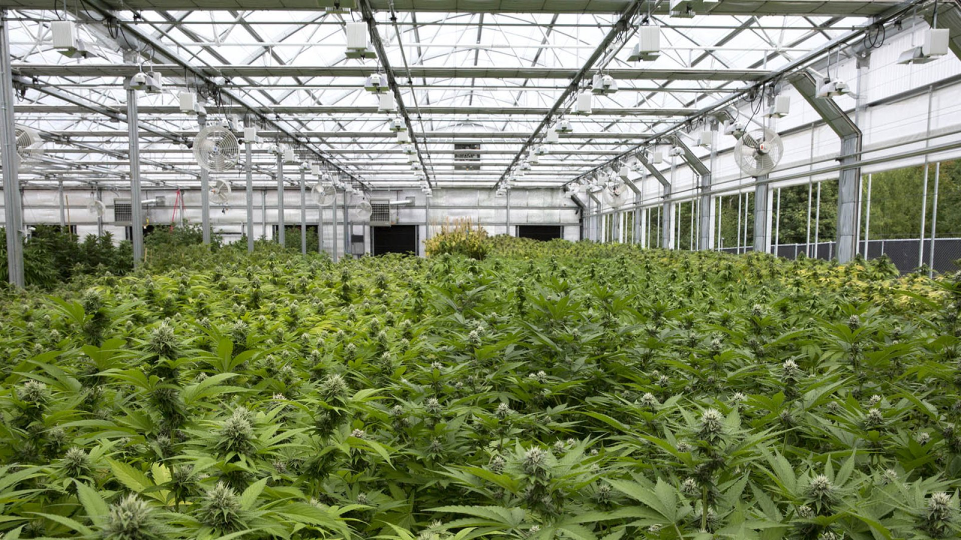 Josh Conley,  whose grandfather started one of the nation's largest greenhouse manufacturing company, launched his own greenhouse company that caters exclusively to cannabis clients. The photo above depicts a greenhouse he built in Washington state.