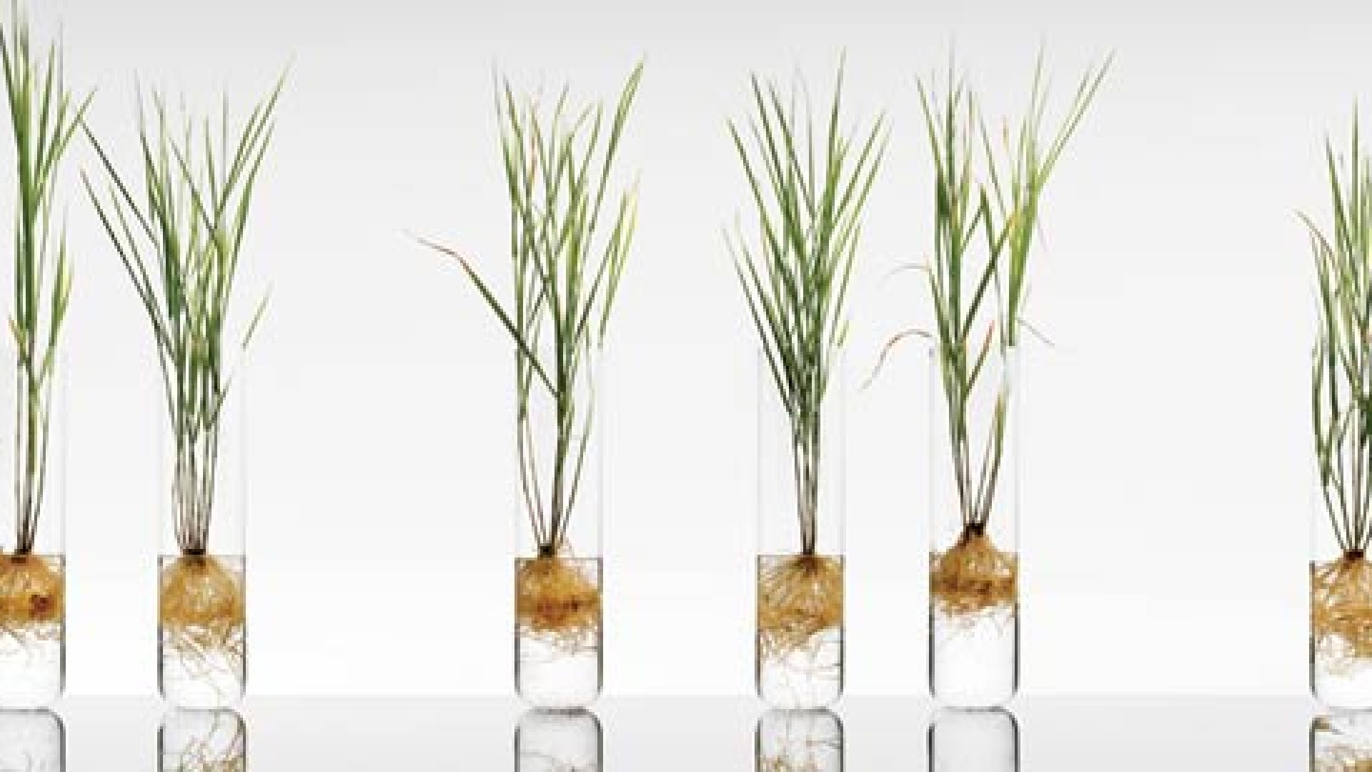 <strong>Good Genes</strong>These genetically modified switchgrass plants are growing in a solution containing seawater from the Pacific Ocean.