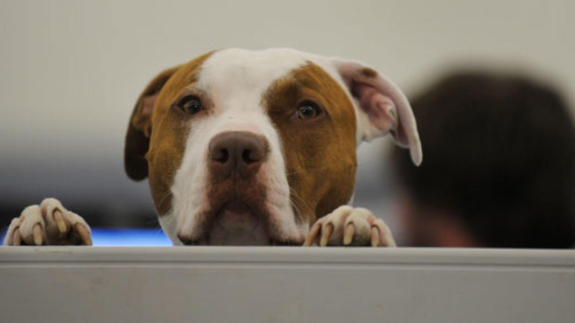 Study: Office Dogs Reduce Work-Related Stress