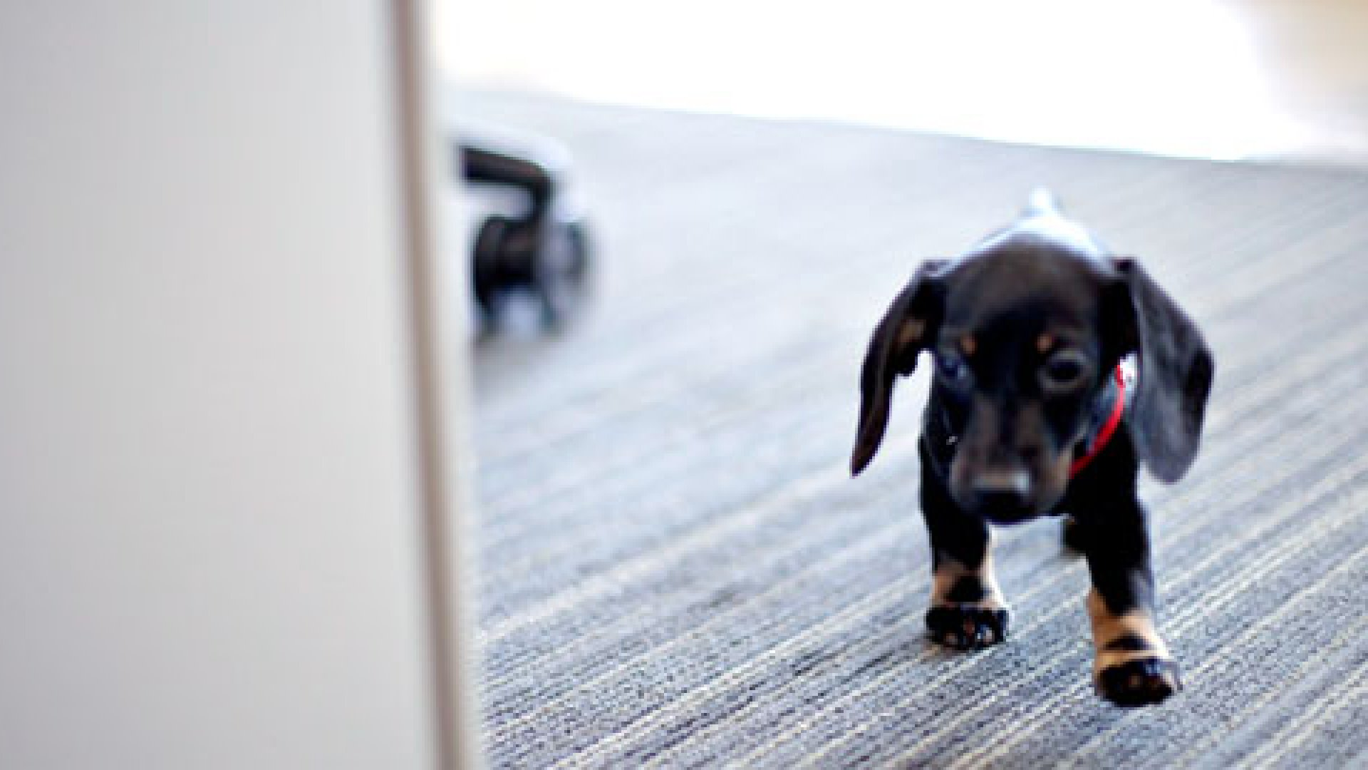 But Is it Legal? Dogs in the Office