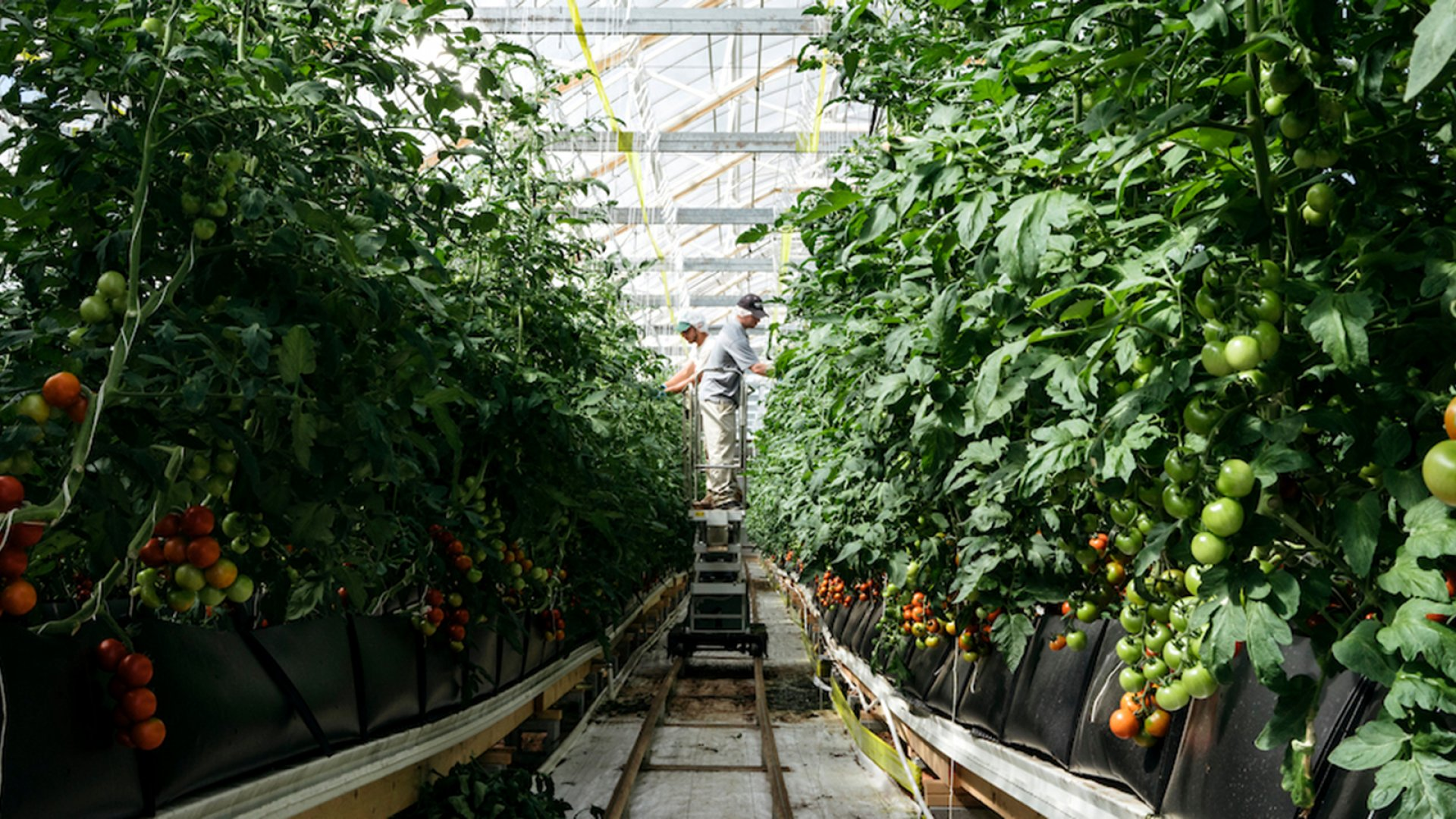 BrightFarms' greenhouse in Culpeper County, Virginia.