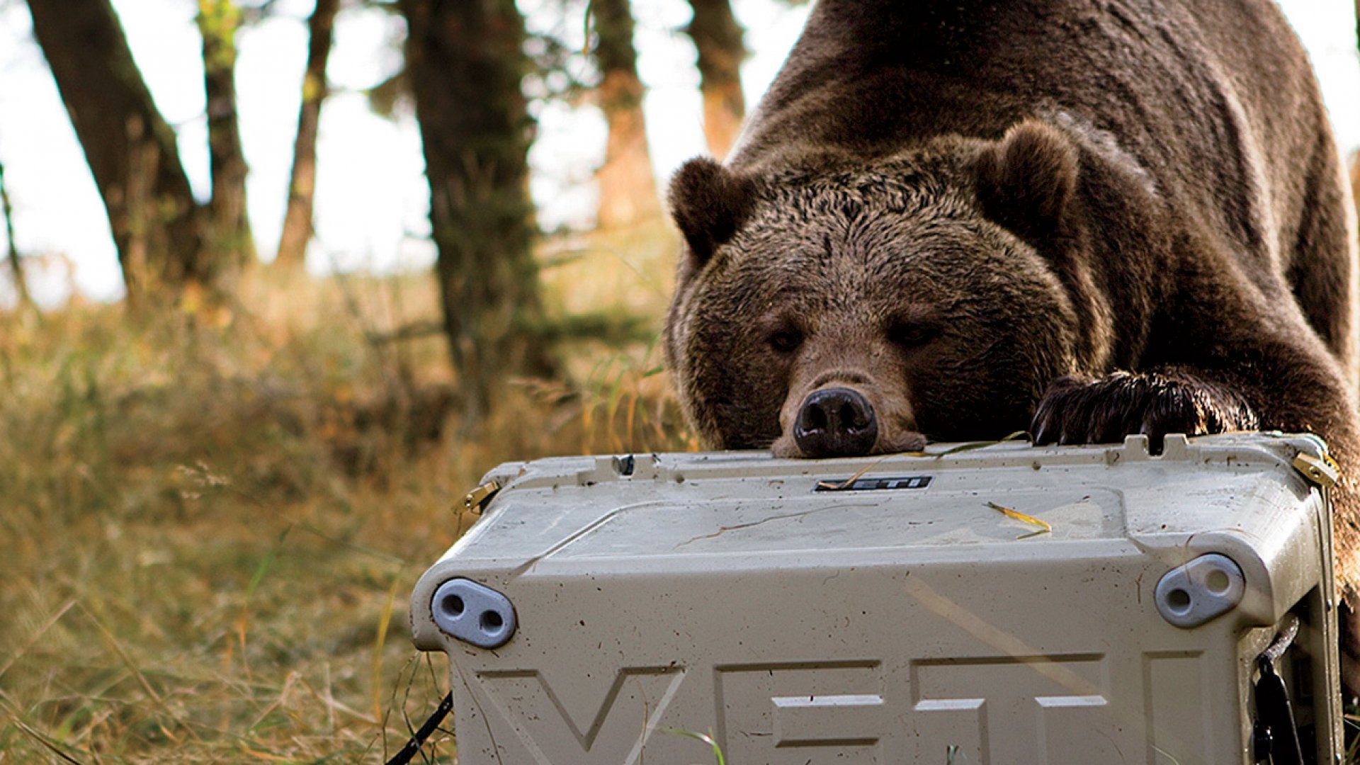 Quality assurance Officer Yeti tests its coolers against grizzly bears to meet the federal standards for bear-resistant containers.