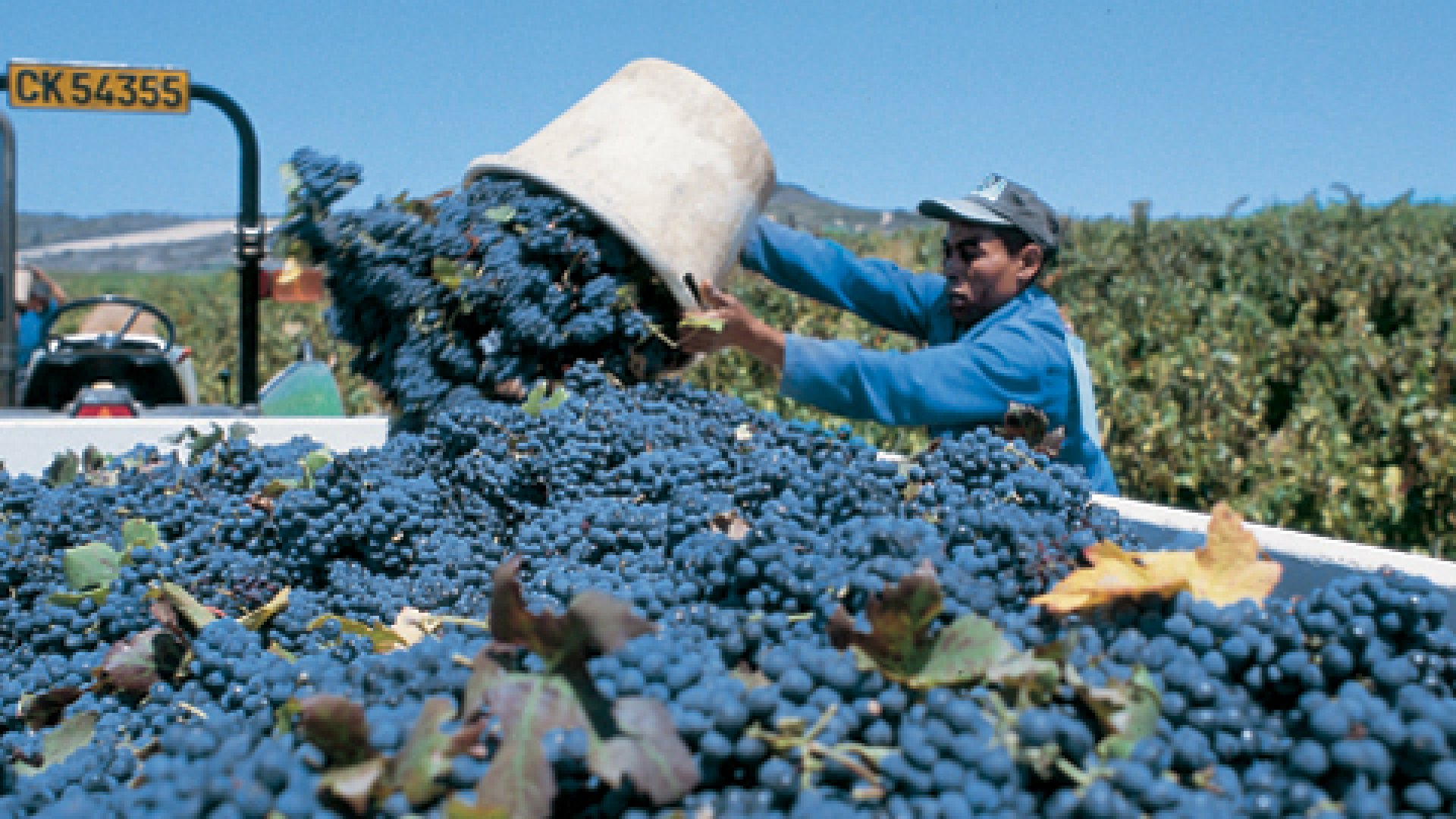 <strong>BEHIND THE LABEL</strong> In a country where less than 2 percent of wine-growing land is black-owned, many black wineries are virtual: The grapes are grown and the wine is made to order by large growers. Here, workers at Swartland Winery harvest grapes for wines that will carry the Seven Sisters label.