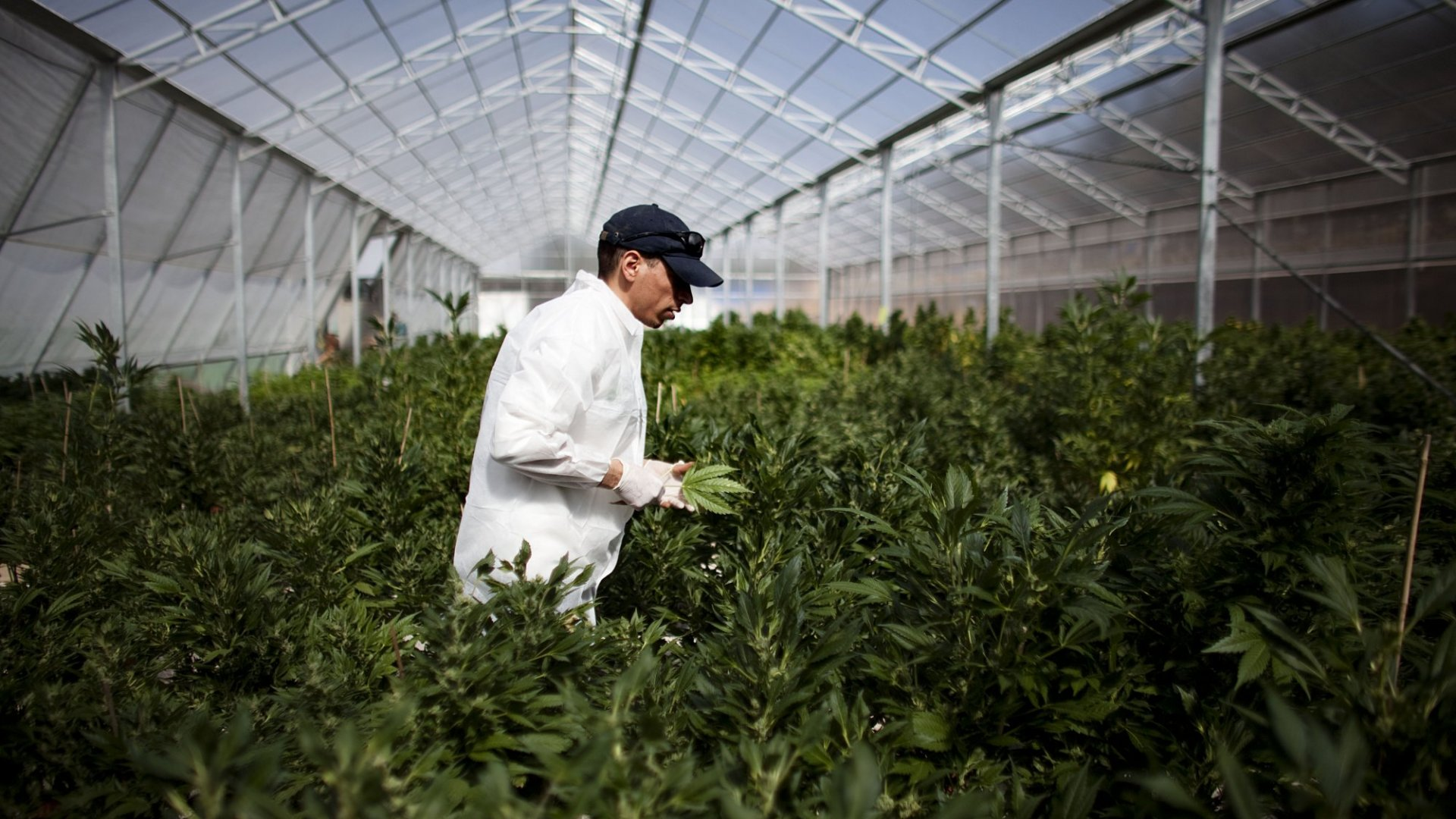 Marijuana is being produced around the world, from Israel to Australia. Above, the growing facility of the Tikun Olam in Safed, Israel, with Israel's Health Ministry, distributes cannabis for medicinal purposes to over 1800 people. (Photo by Uriel Sinai/Getty Images)