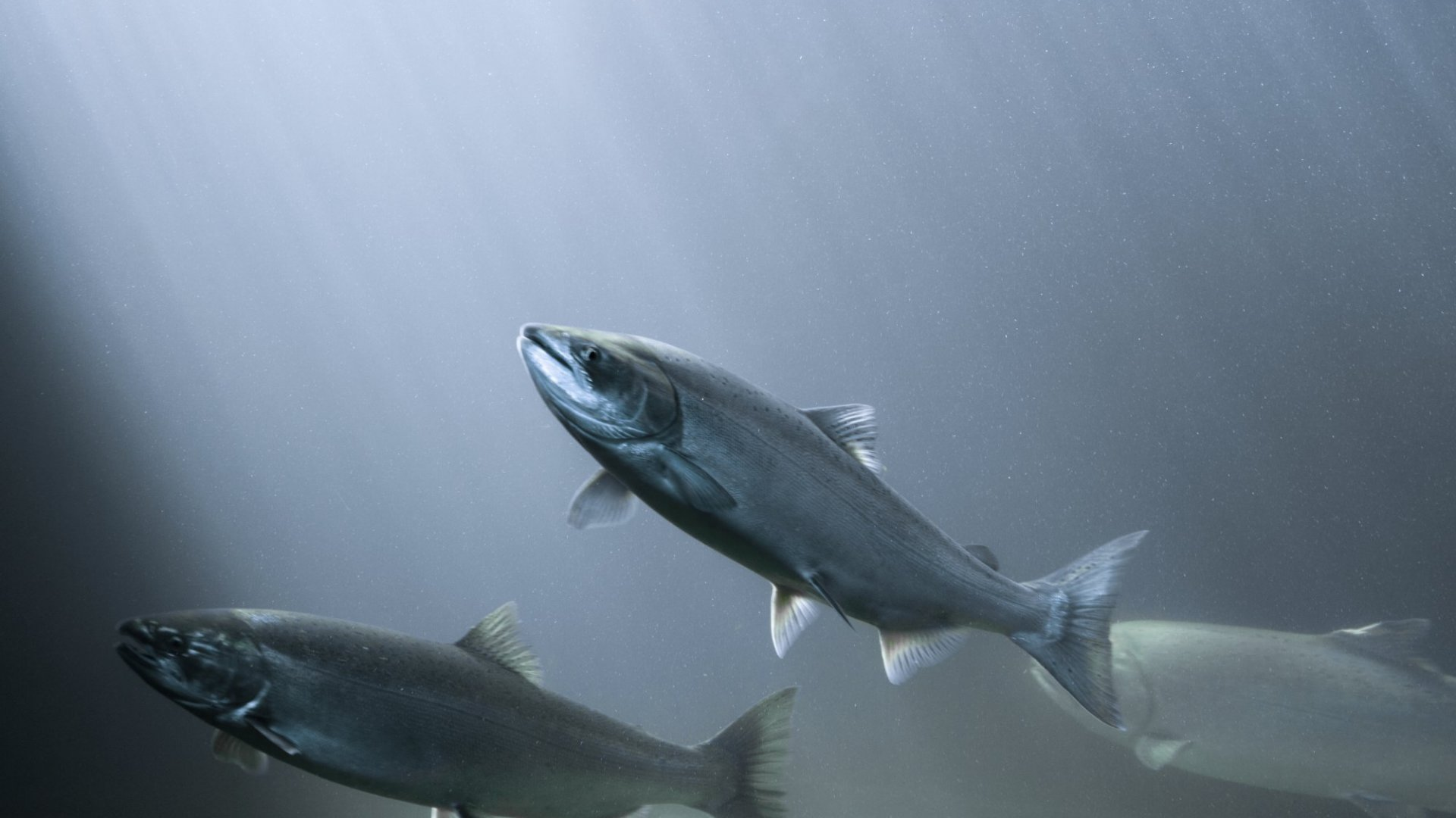 1 Surprising Lesson About Failure You Can Learn From Salmon (Yes, the Fish)