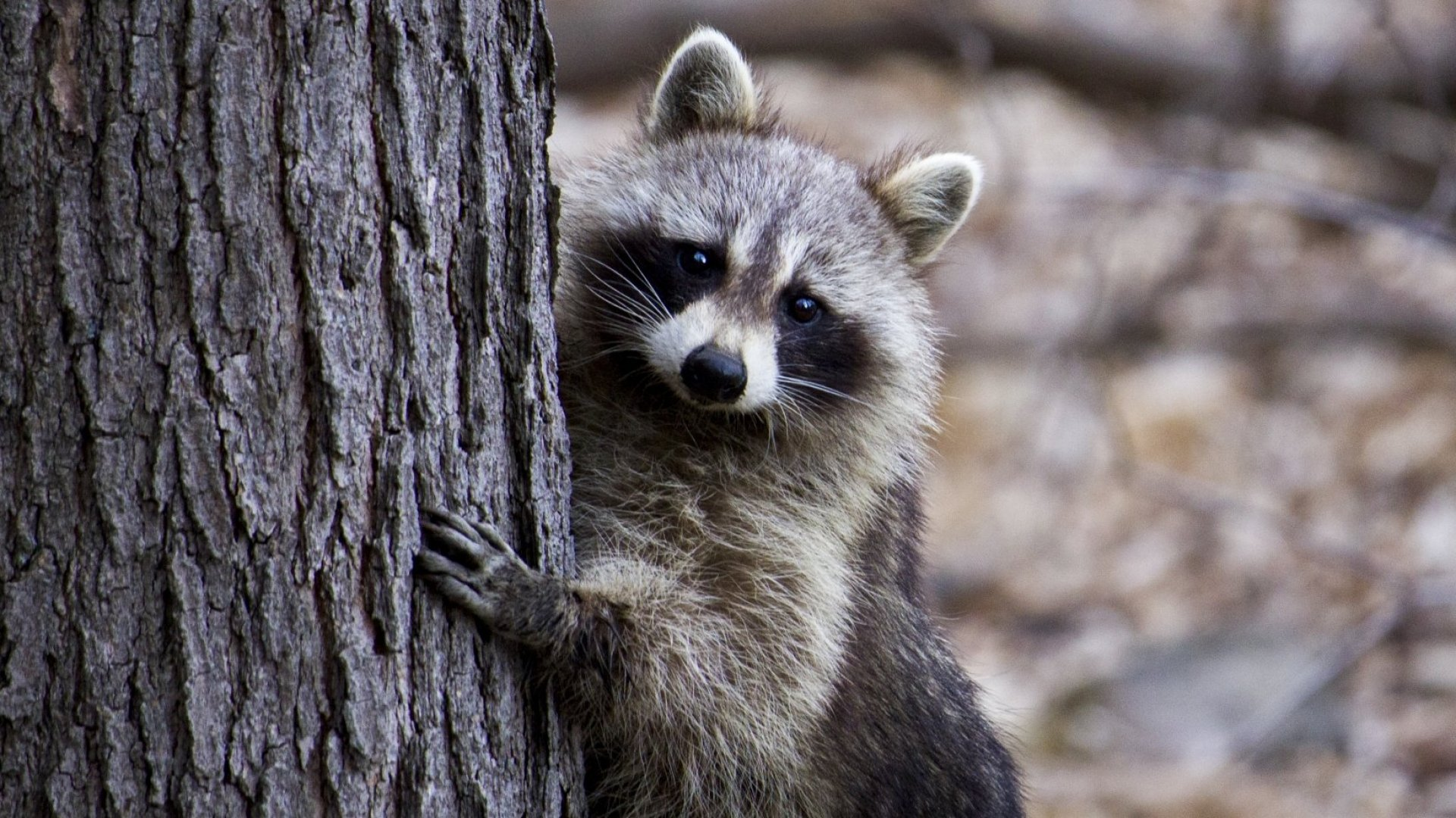 A Minnesota Raccoon's Death-Defying Feat Went Viral--and Revealed 3 Leadership Lessons in the Process