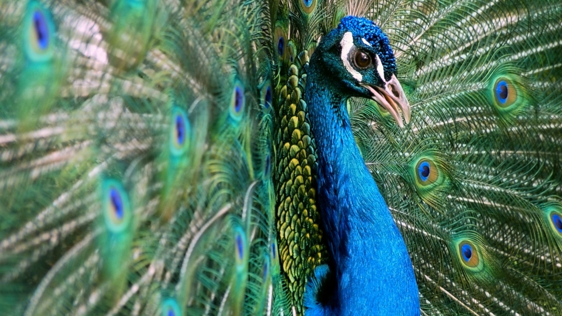 Remember the Emotional Support Peacock a Passenger Tried to Bring on United Airlines? Now It's Dead