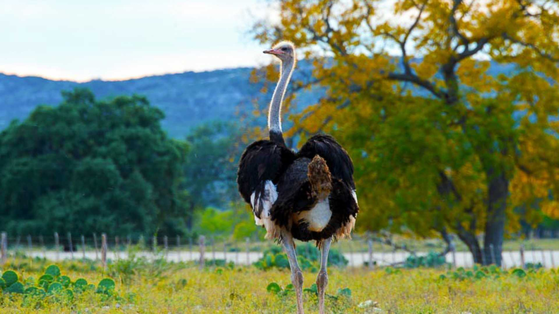 Ostrich are one of the many exotic animals that can be hunted on Ox Ranch. The animals are free ranging on the 18,000-acre property.