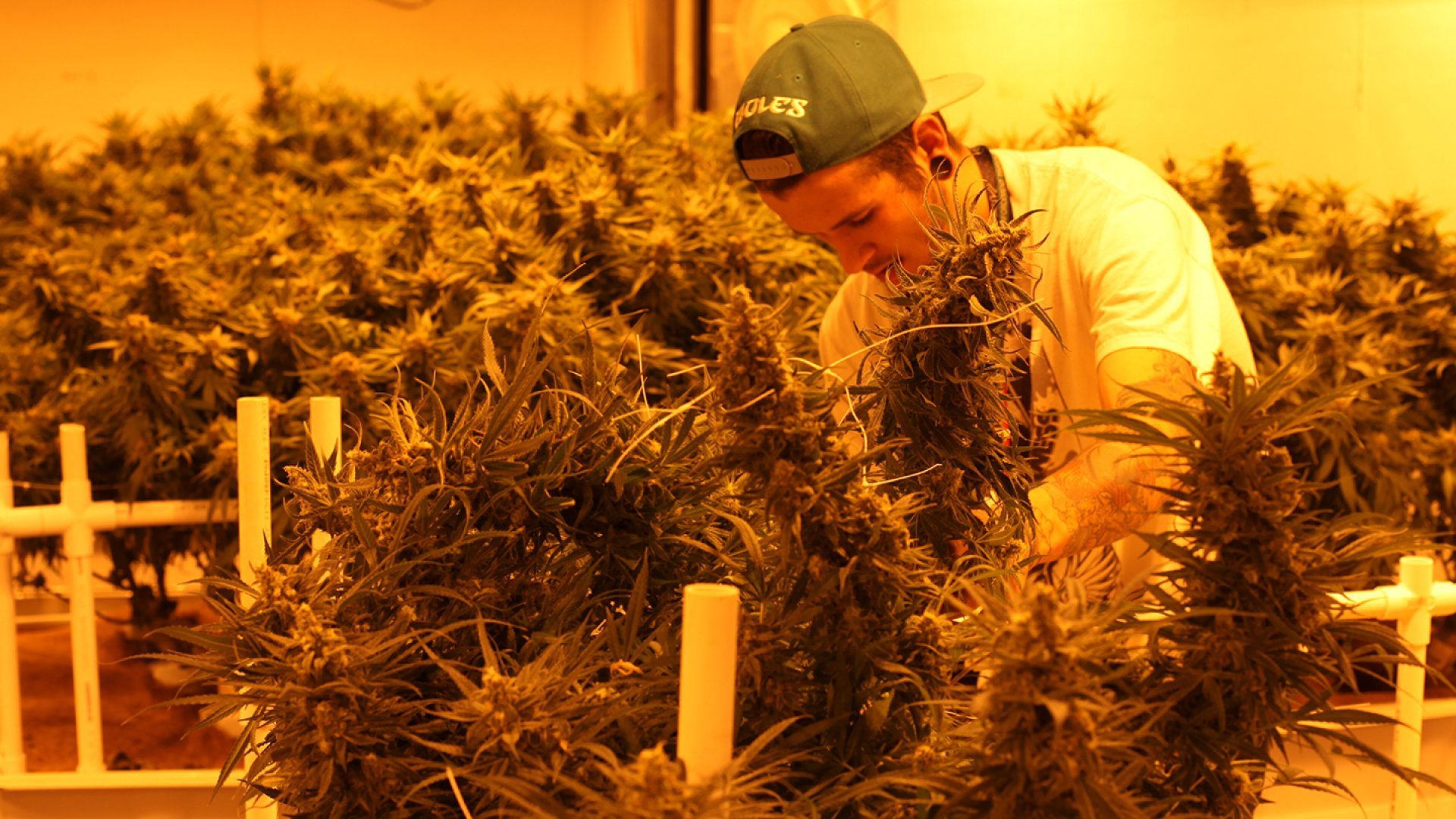 An employee of Dixie Elixirs, a THC oil-infused edibles manufacturer in Denver, tends to hundreds of plants in the company's harvest room.