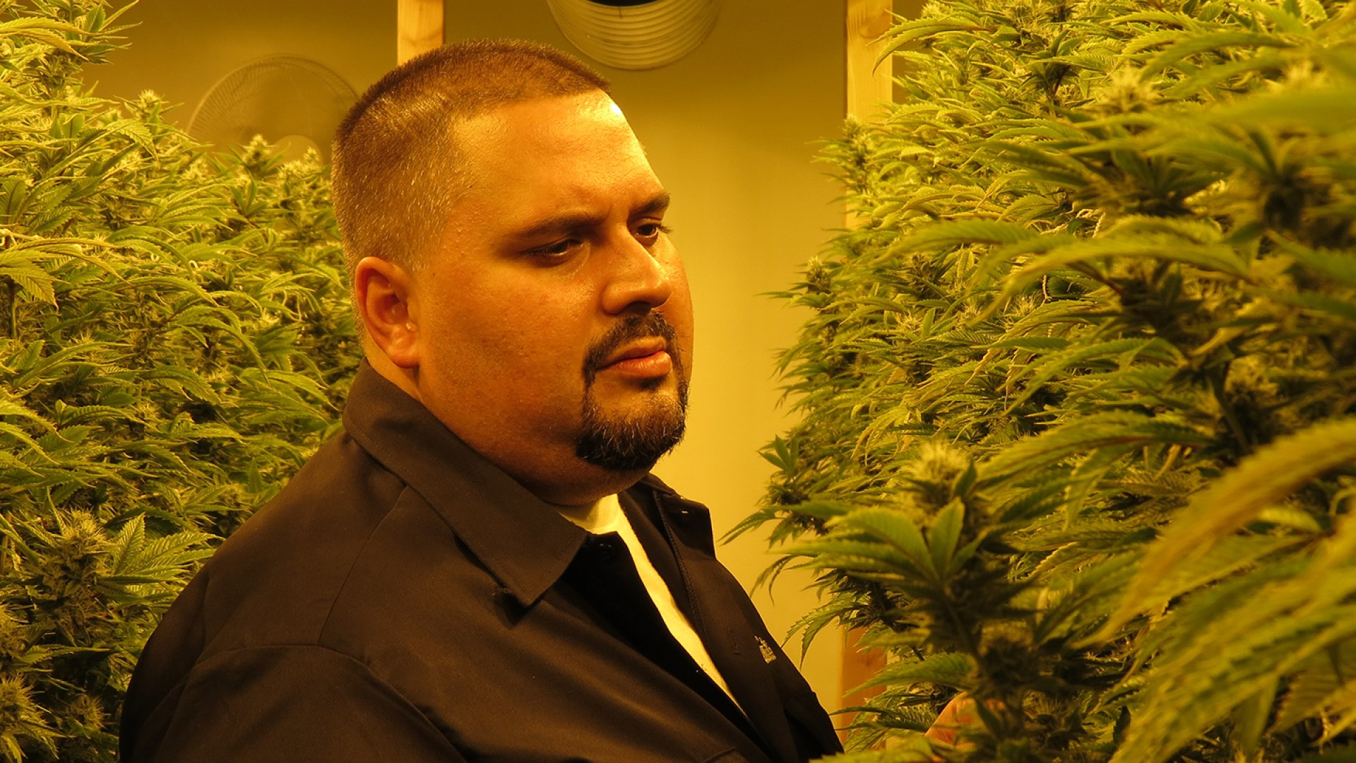 Ata Gonzalez, founder of G FarmaLabs, inspects his buds. Soon, he will extract all the THC and make concentrate to infuse chocolate and fill vape pens.