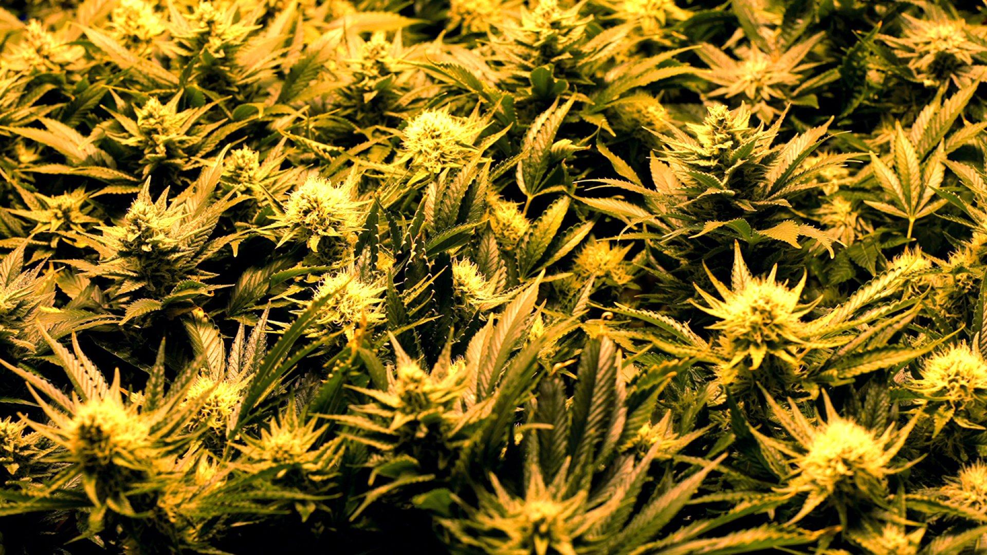 A close up of marijuana growing inside a Denver cultivation center.