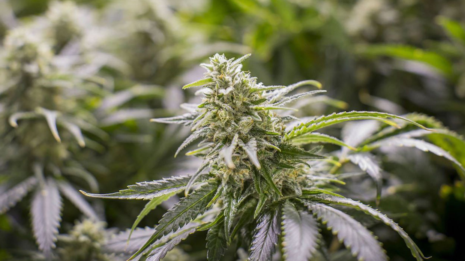 A cannabis plant in Medicine Man's 40,000-square-foot warehouse in Denver. The dispensary's grow operation produced 7,000 pounds of pot in 2014 and generated $8 million in revenue.