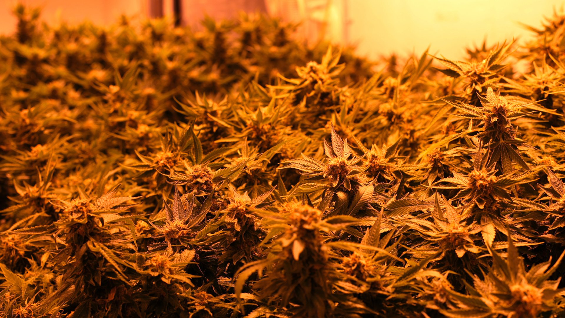 An inside look of Dixie Elixir's grow room in Denver. The edibles manufacturer makes 40 different products, from THC-infused soda to gourmet chocolate, yet it all starts with the cannabis plant.