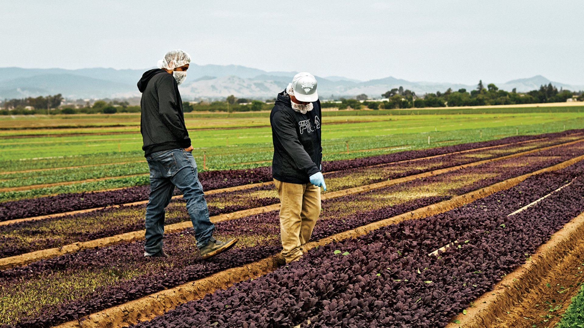 Workers at one of Jayleaf's seven California ranches walk among rows of red mustard.