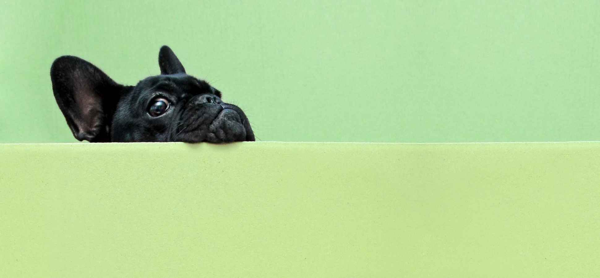 This French Bulldog Is Not Only Cute, She Also Helps Her Startup Succeed