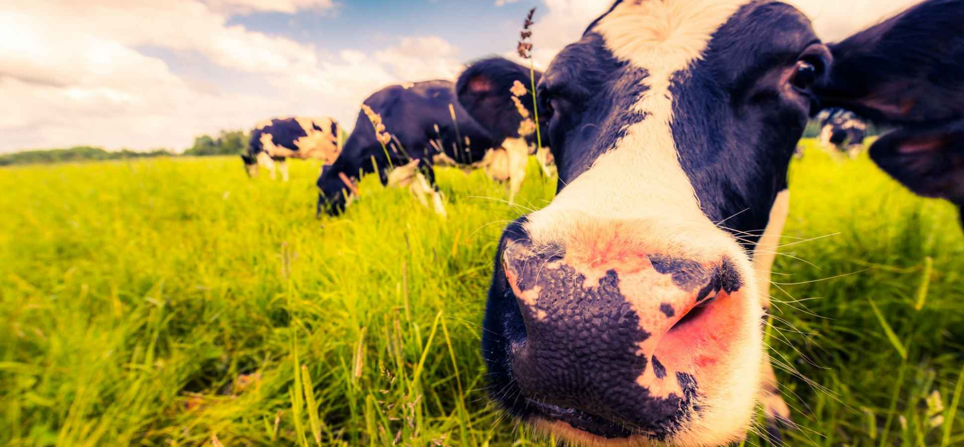 The Myth of the Purple Cow in Marketing