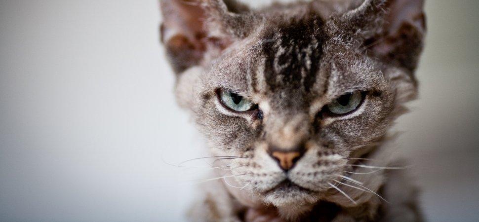 Картинки по запросу самые опасные кошки в мире